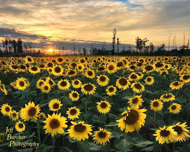 13.Maria Sunflower Field in Avon, OH