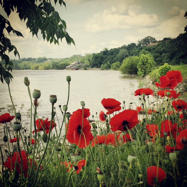 12. The boldly colored poppies only further add to the picturesque Natchez scenery.
