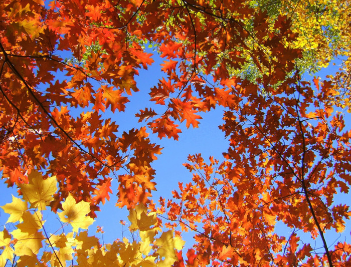 1. The colorful leaves make the bright blue autumn sky seem even brighter.
