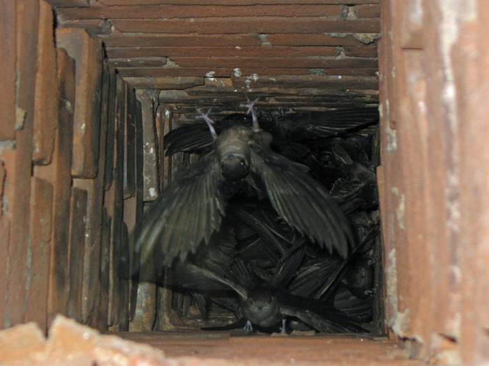 15. Chimney Swifts, Perryville