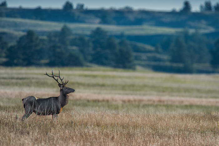 40. A Proud Bull Elk at Fort Niobrara National Wildlife Refuge