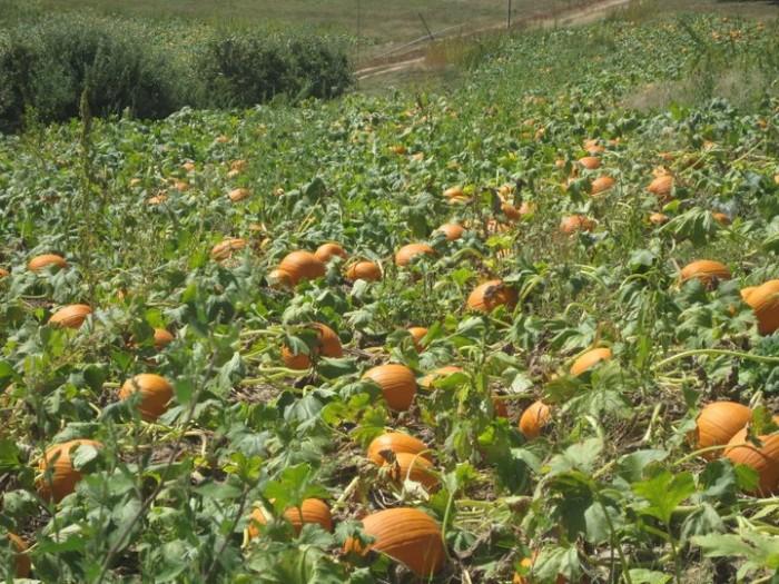 Pumpkin Picking at Simmons Farm » Sewickley Photography