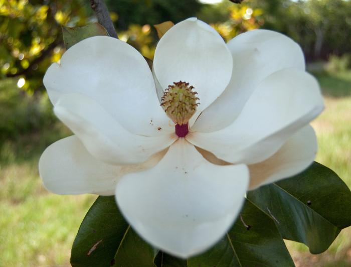 2. Magnolias