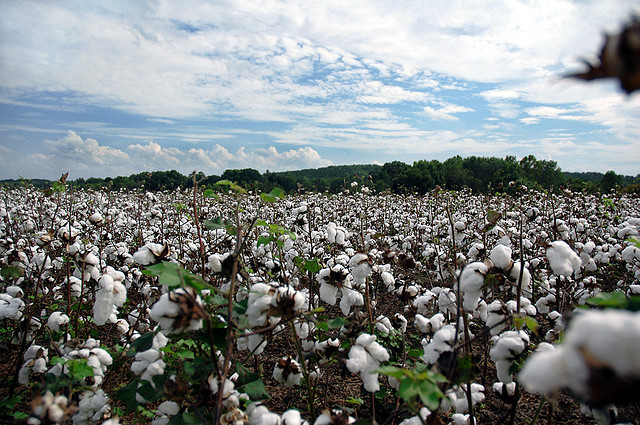 3. Even our countryside is majestic with lush cotton fields