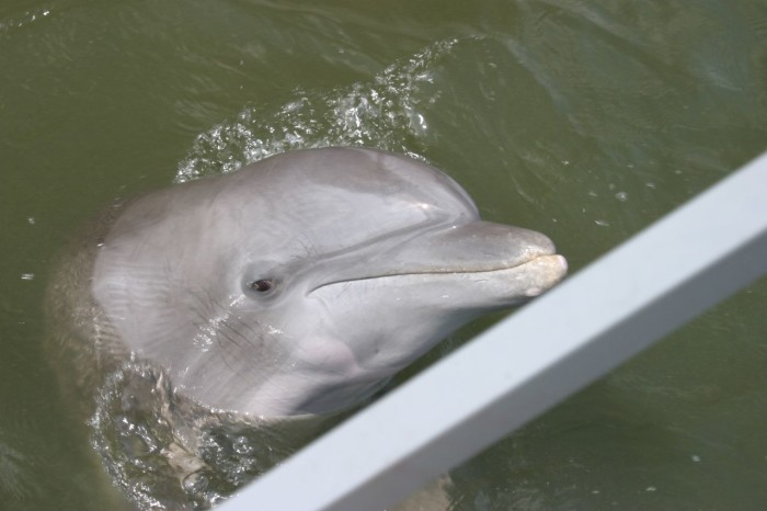 7. Visit the dolphins off of Tybee Island.