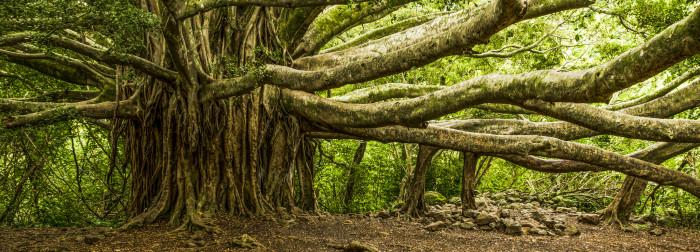 27) Banyan trees.