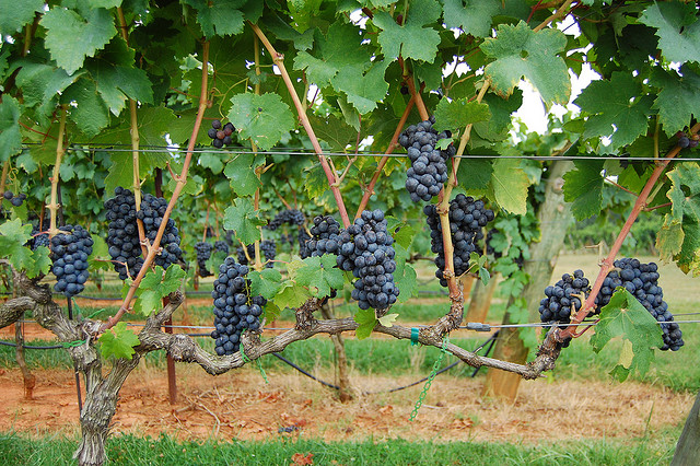 13. Visit a vineyard