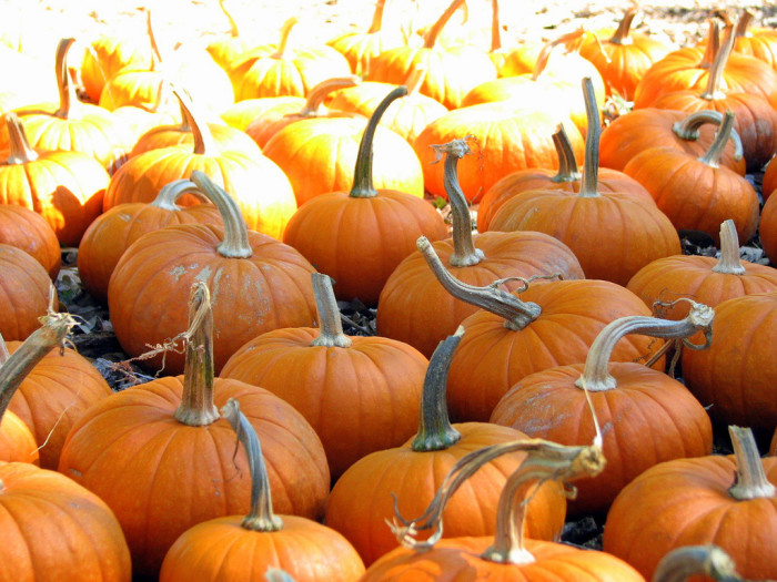 3) Pumpkin patches! Nothing says fall is here like picking pumpkins to put on the porch or decorate for Halloween!