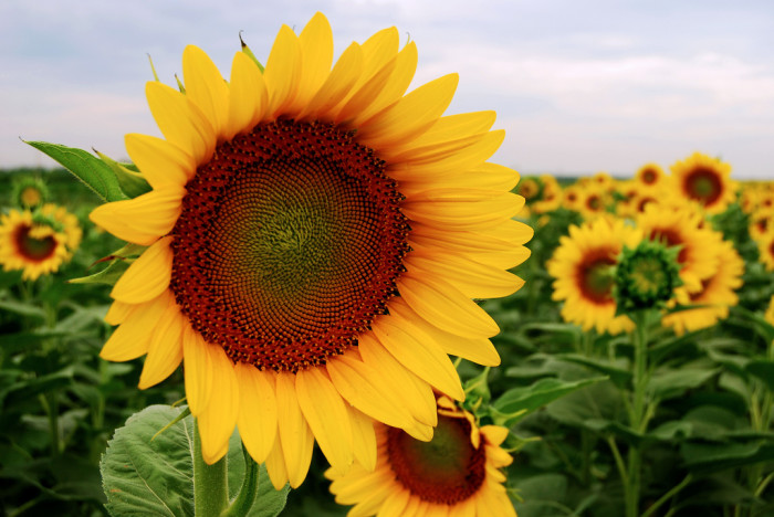 15. It's impossible to not smile when gazing upon a field of sunflowers.