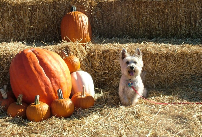 7 of the best pumpkin patches in kansas traveling mom.