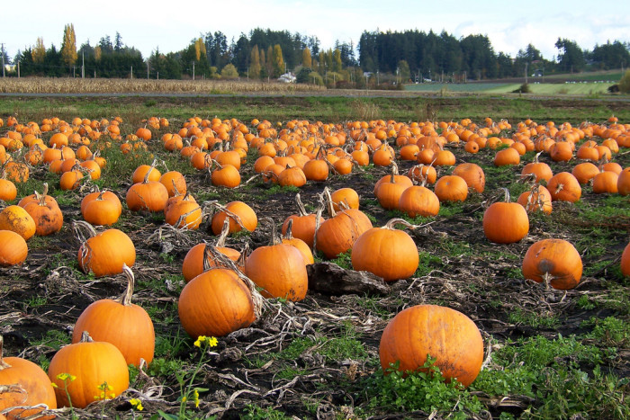 2. And the pumpkin patch.