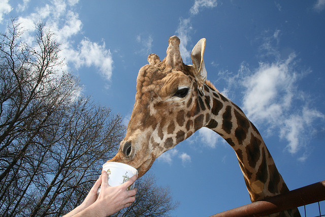 12. Feed giraffes from your sunroof at Lazy Five Ranch.