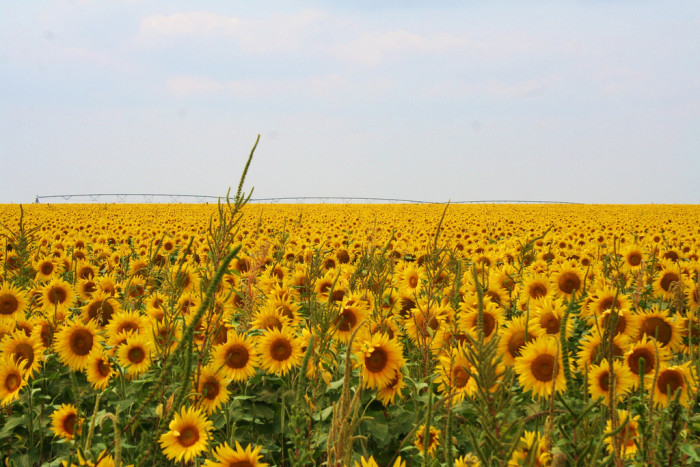 4. A Bright Sunflower Field Near McCook