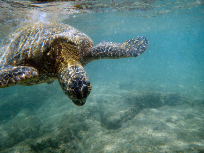 4) Honu (green sea turtles) relaxing on the beach, or swimming alongside you in the ocean.
