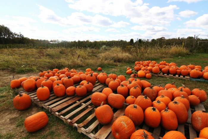 6. Speaking of pumpkins, early picking season starts on the 15th!