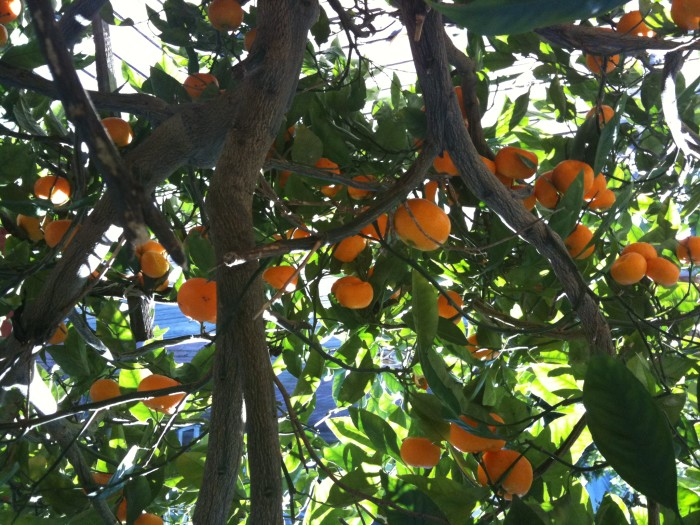 10. All the citrus trees are bulging with fruit.