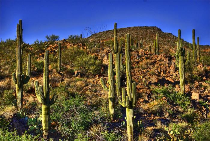 11. Saguaro
