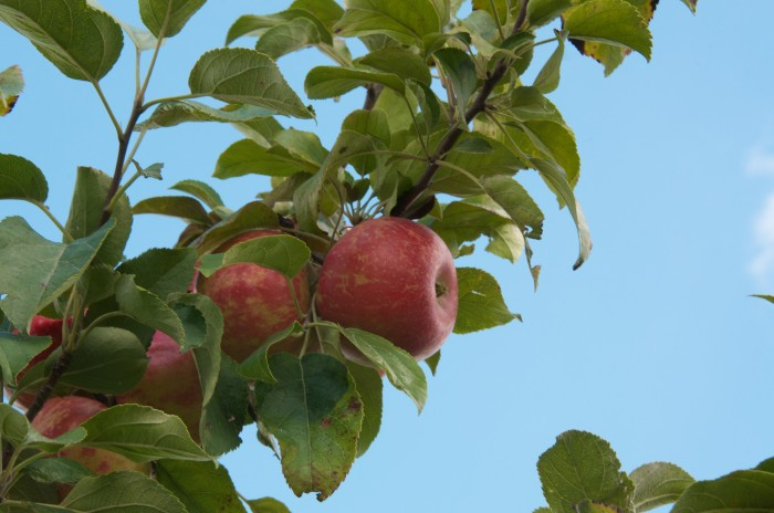 5. Apple Picking! Fall is the time for visiting farms!