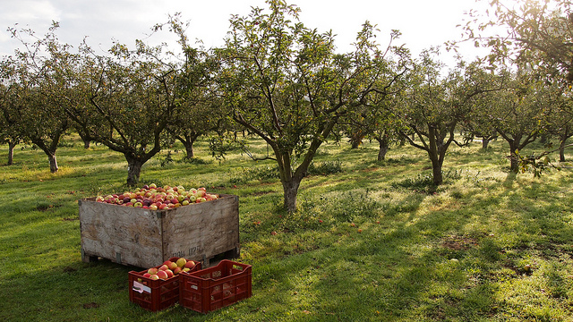 6. It's also the ideal season for going to the apple orchard.