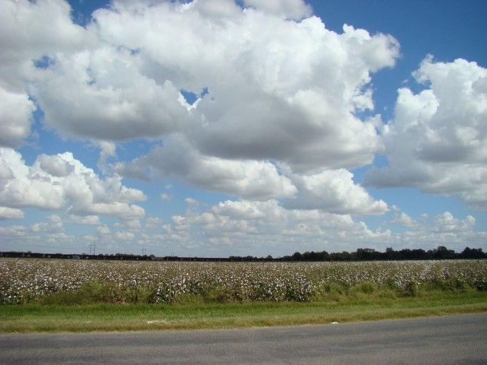 7. A ride around Stoneville means visions of white in both the sky and the fields.