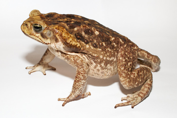 how to stop cane toads in your backyard
