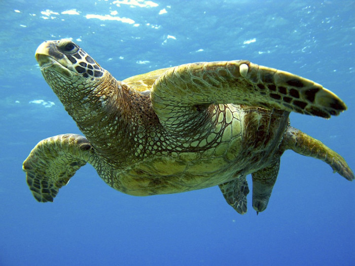 8) Our beautiful state is home for many incredible animals, including green sea turtles, also known as honu.