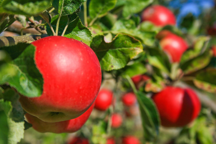 12. Without Washington, everyone would miss all of our delicious apples - after all, we are the largest exporter in the U.S.! Tree Top apple juice even uses our fruit to produce their sweet drinks!