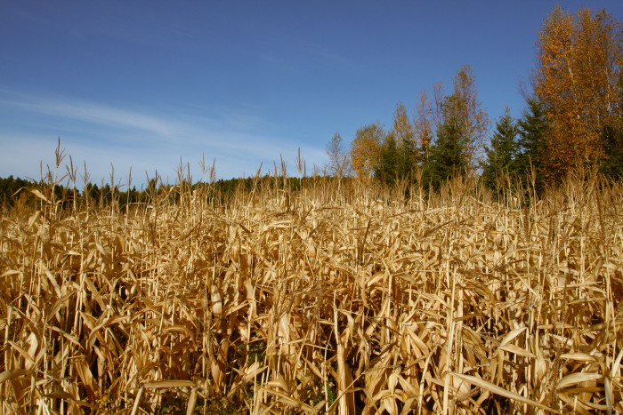 10. Corn Mazes! The best fall adventure!