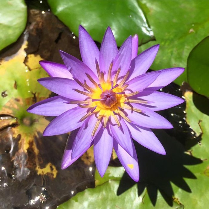 6) A beautiful water lily photographed by Ann Rose Manzano Raney at Lyon Arboretum.