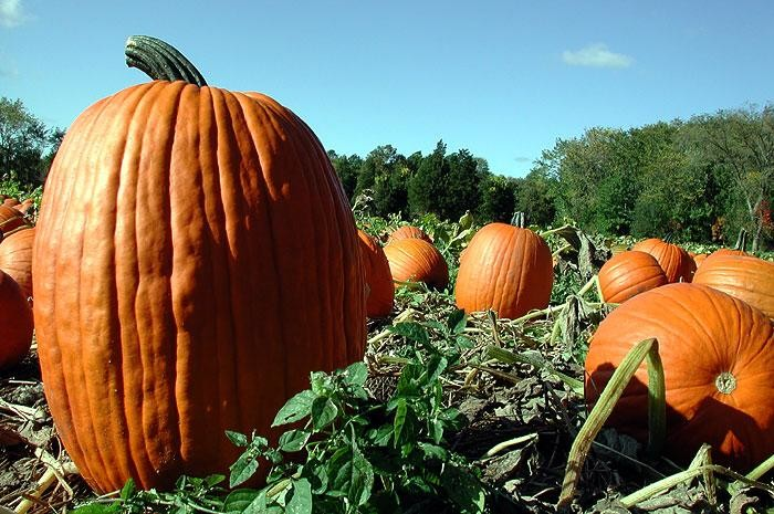 7. Pumpkin patches start popping up across the state.