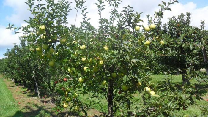 3. Apple picking season is in full swing.