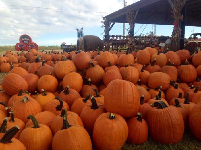 2. Tate Farms Cotton Pickin' Pumpkins