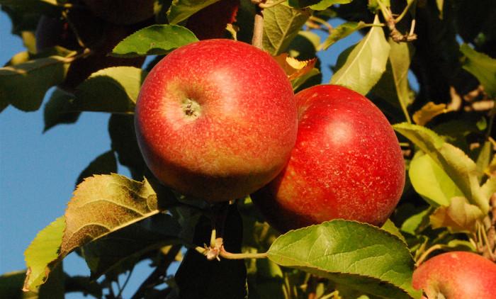 2. Apples EVERYWHERE