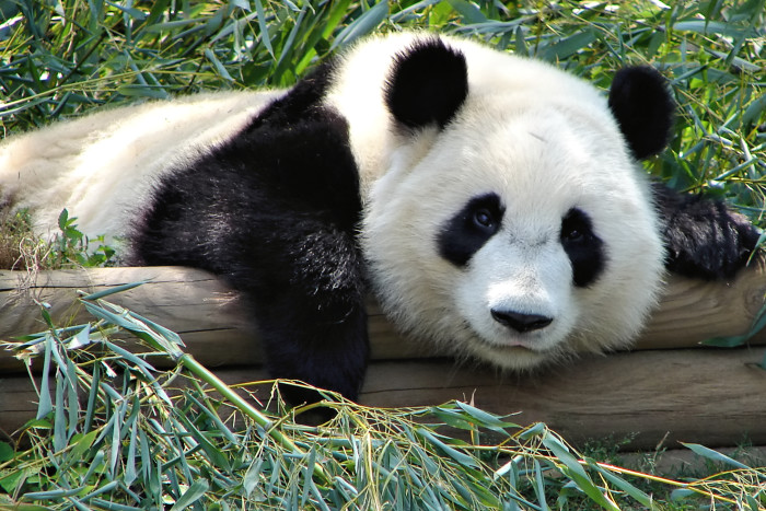 18. View the Pandas - The Journey Home 3D at the IMAX