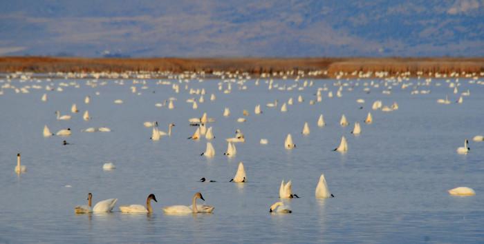 16) Bear River Migratory Bird Refuge