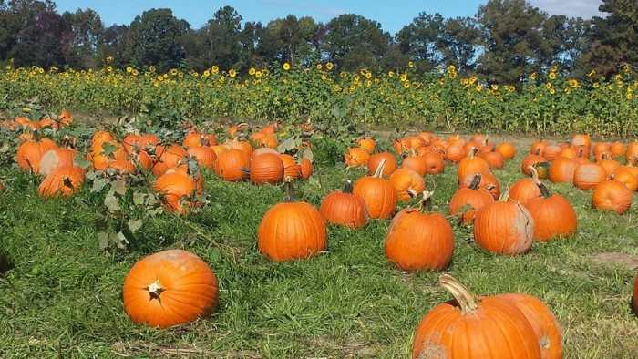 Fall Pumpkin Harvest Festival - Great Country Farms