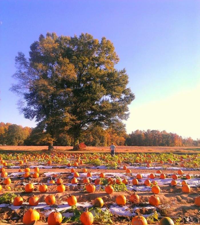 Chesterfield Berry Farm pumpkins