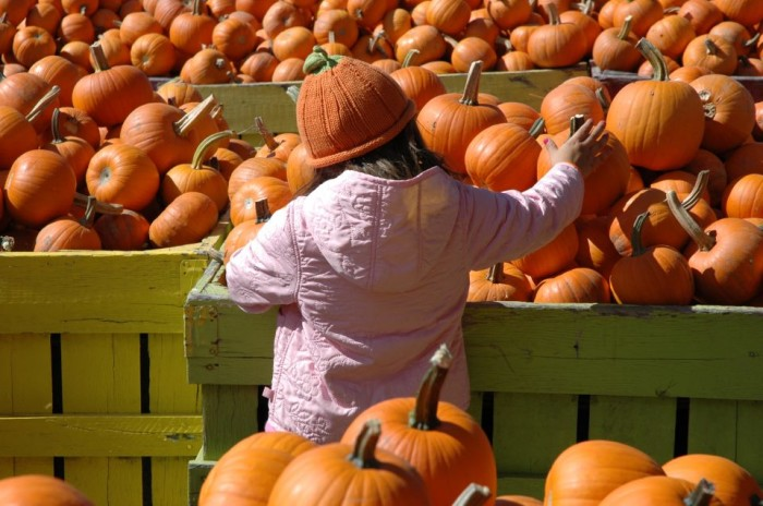 Cox Farms pumpkins