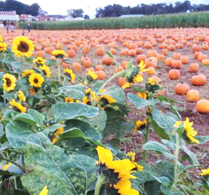Don't Miss These 10 Great Pumpkin Patches In SC This Fall