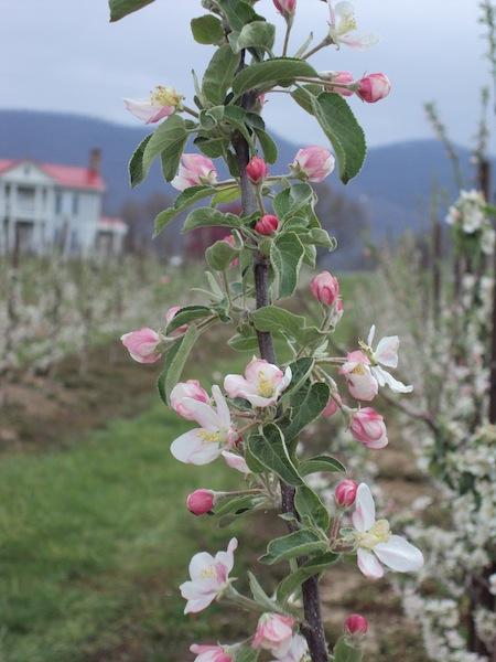 Doe Creek Farm apple blossom