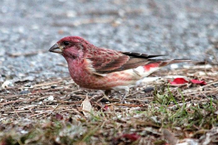 Kiptopeke bird