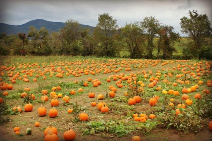 Layman Family Farm pumpkins