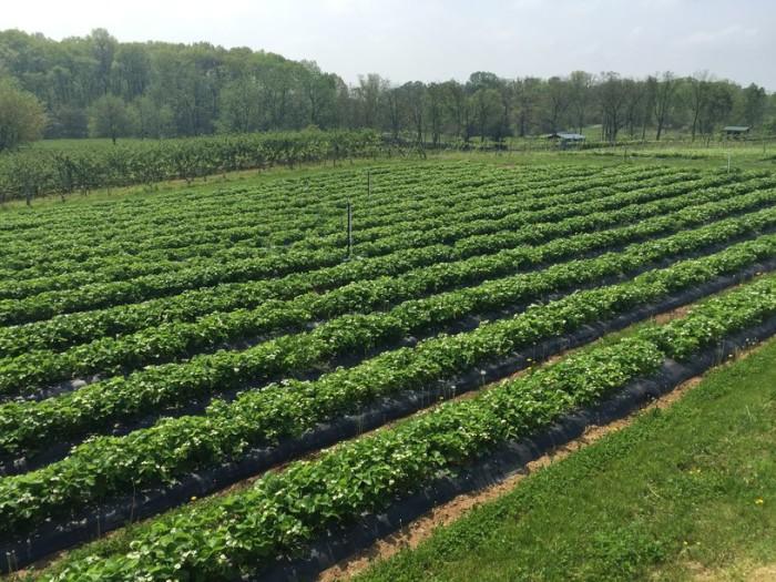 Mackintosh Fruit Farm 2