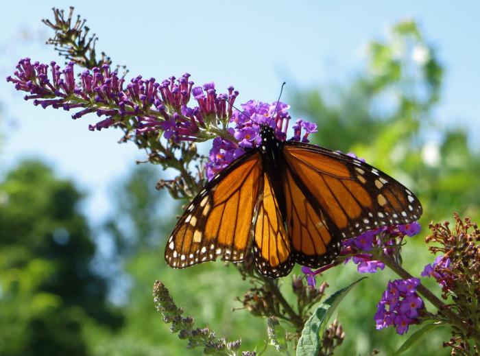 4) Monarch Days, Alleghan County