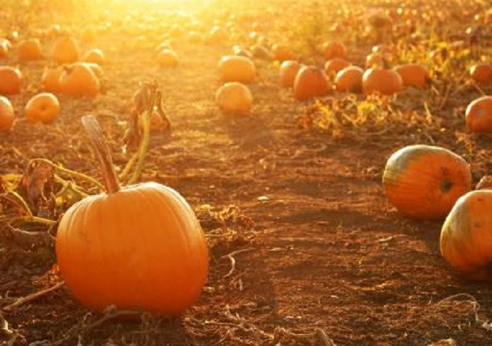 5. Pumpkin Patch at the Moapa Valley Corn Maze