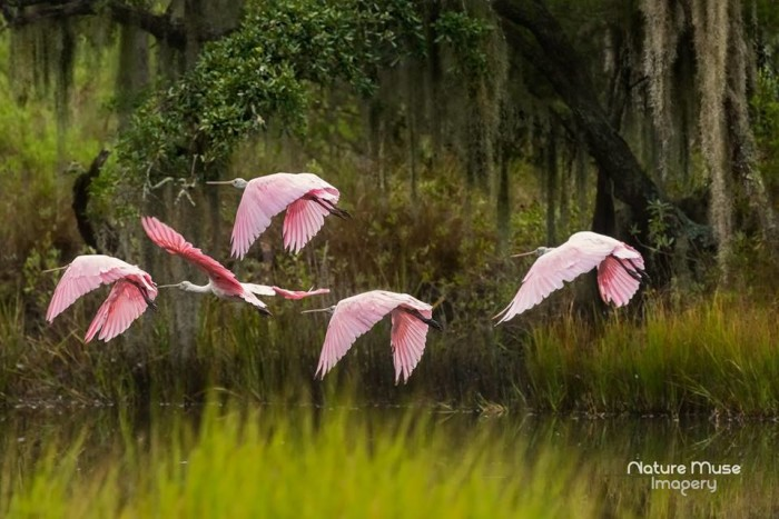 """25. """"Roseate Spoonbills over the marshes of Beaufort"""" This show-stopping photograph was taken by Nature Muse Imagery."""