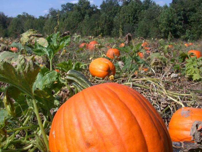 3. Pumpkin Patches, Corn Mazes and Hayrides
