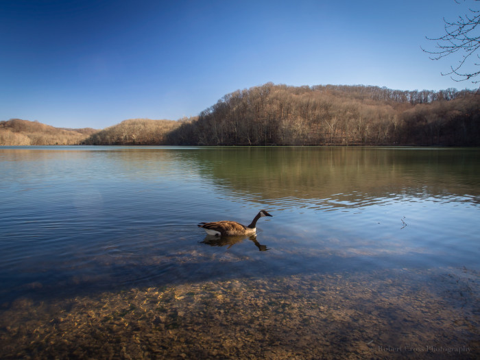3) Or the beauty of Radnor Lake? (Plus a goose, for good measure.)