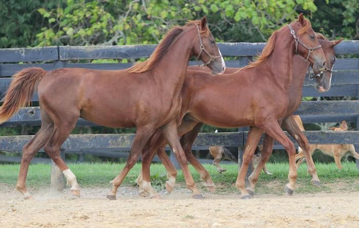 3. Saddle Bred and Thoroughbred horses.