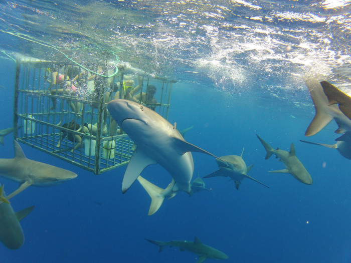 3) Supposedly, you are pretty safe while cage diving with sharks. I'm going to go out on a limb and say that most people would still be absolutely terrified, and probably in shock.